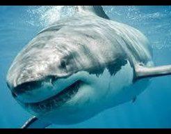 ホホジロザメの画像