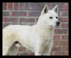 豊山犬の画像