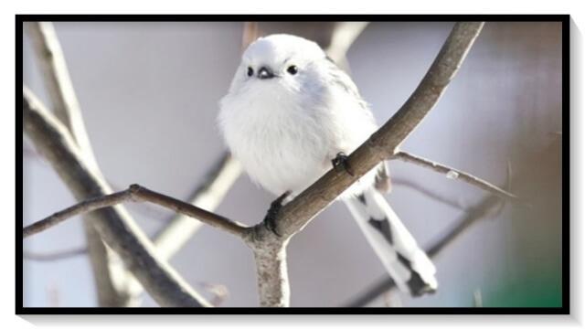 シマエナガ,野鳥,雪の妖精